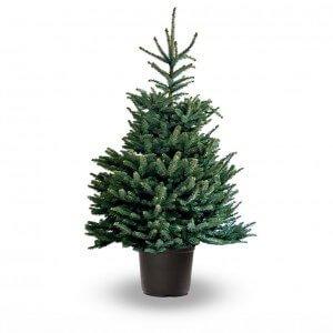 Kerstboom-in-pot-omorika-blauw-spar-300x300-300x300